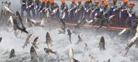 Fishermen Net Fish In Qiandao Lake